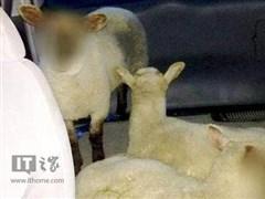 英国警方给羊打码:未成年,不能透露真实身份