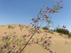支付寶螞蟻森林曬出阿拉善花棒:隨風搖曳