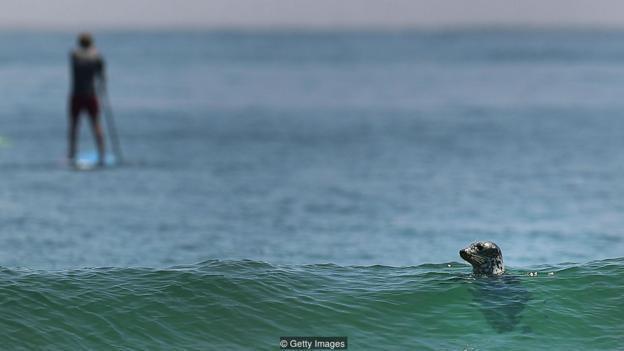 为什么鲨鱼会攻击人类?可能真的是认错了猎物